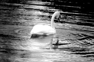 Swan by Art-ography