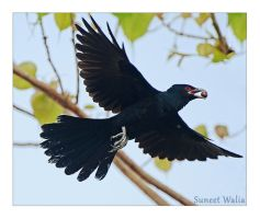 Koel flight by freudian-slips