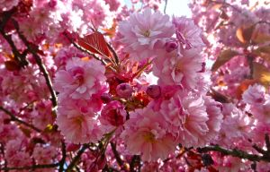 Cherry Blossoms by xDNarnian
