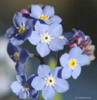 FORGET ME KNOTS 21 by GeaAusten