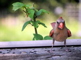 female cardinal highlights by Lou-in-Canada