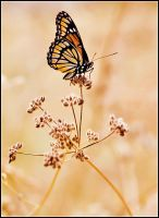Monarch by justinblackphotos