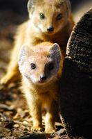 Mongoose 2 by BiodiVersitY