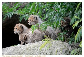 Young Cheetahs 1 by Reto
