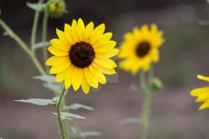 Sunflower 4 by MDC-Photography