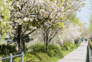Cherry are in full blossom4 by ganessa
