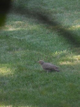 Red Shafted Flicker by HoodedShyGuy