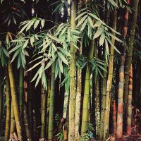 Bamboo by WillTC