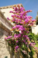 Bougainvillea on Bol by wildplaces