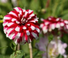 awesome dahlias 2 by ingeline-art