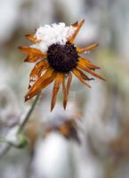 Daisy Crown of Snow by sevymama