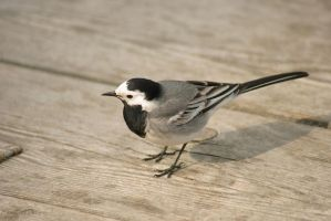 Wagtail by BanditArtDesign
