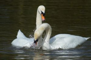 Swans 2014 1 4 by melrissbrook