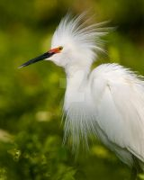 Snowy Egret on Green by datfly