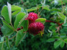 Pests of the Wild Rose-Wasp Gall 01 by SkyfireDragon