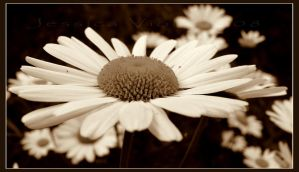 Daisy by javv556
