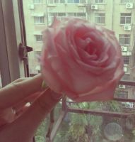 Single pink rose by Laura-in-china