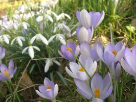 Snowdrops and Crocuses by cncplyr