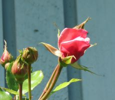 Rose Bud again by Kattvinge
