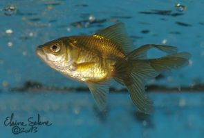 Stay Gold - The GOLD Goldfish - 2 by ElaineSeleneStock