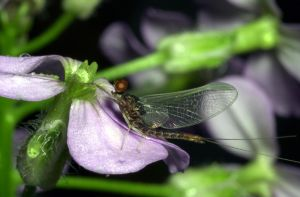 mayfly on flower by kl61