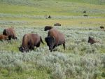 American Bison 5 by ShadowsStocks