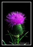 A Prickly Scot by PixelBlender