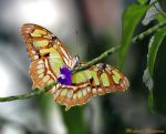 Butterfly by Uberdadeh