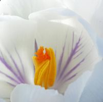 heart of the crocus by clochartist-photo