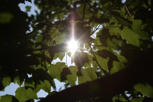 Sunlight through leaves by pickleduck3