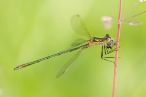 Damselfly by vlastas