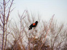 Redwing Blackbird by coyoteflutesong