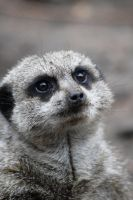 Meercat by Crutchley29