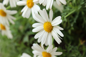 Flowers: marguerite by Abletodoall