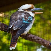 Laughing Kookaburra ll by deseonocturno