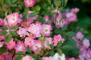 Pink Flowers by Sabiand
