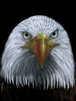 Bald Eagle-2 by sinccolor