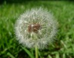 Fluffy Dandelion Thing by iheartuknowhoo