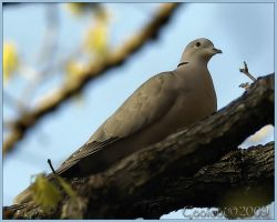 Dove by Gooiool