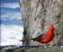 bright cardinal by Lou-in-Canada