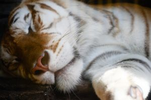 Tiger at Rest by SupremeBacon