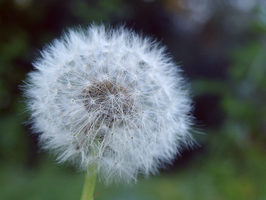 31. dandelion by littleconfusion