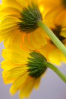 Yellow Daisies III by LDFranklin