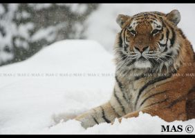 Amur Tiger_1788 by MASOCHO