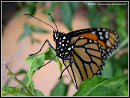 The Monarch Butterfly 2 by thefunkyinuit