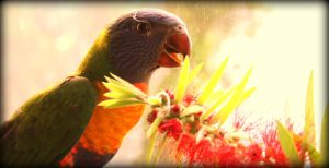 Lorikeet II by TinaLeeM