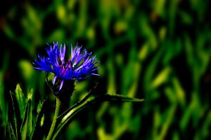 BLUE flower by Blue-Norway