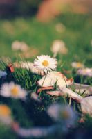 #Daisies in Blossoms by Batschi96