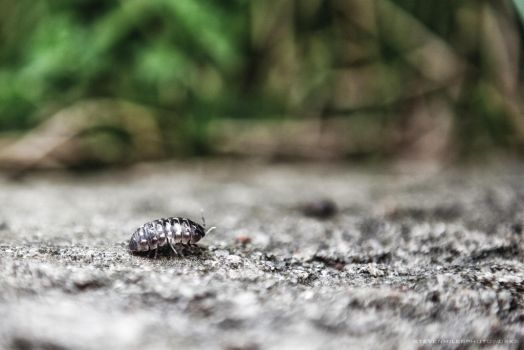 A Pill Bug's Journey by welcometothegray