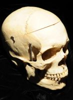 Human Skull side view by Meddling-With-Nature